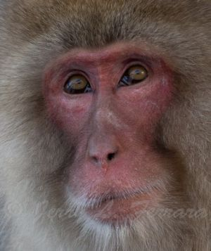 Japanese Macaque.jpg