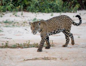 c100-jaguar13.jpg