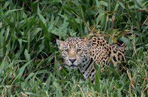 c17-jaguar9.jpg