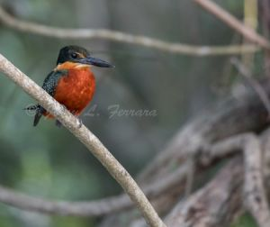 c19-green and rufous kingfisher.jpg