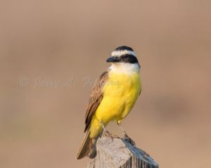 c2-great kiskadee.jpg