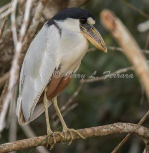 c21-boat-billed heron.jpg