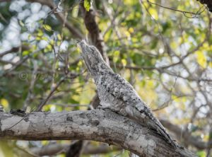 c23-great potoo.jpg