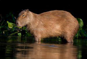 c34-capybara.jpg