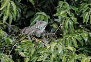c43-green (common) iguana.jpg