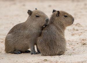 c58-capybara2.jpg