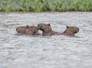 c63-capybara3.jpg