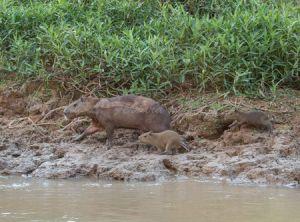 c63-capybara5.jpg