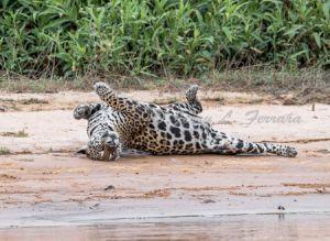 c68-jaguar8.jpg