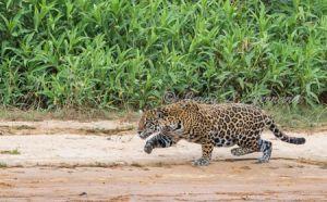 c70-jaguar6.jpg