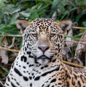 c79-jaguar5.jpg