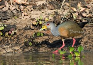 c92-gray-necked wood rail.jpg