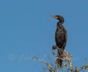 neotropical cormorant.jpg