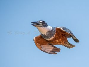 ringed kingfisher.jpg