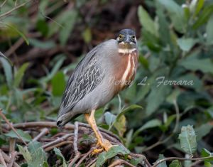 striated heron.jpg