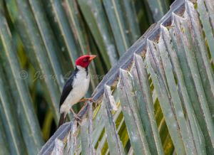 yellow-billed cardinal.jpg