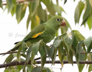 yellow-chevroned parakeet.jpg